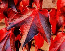 can leaf